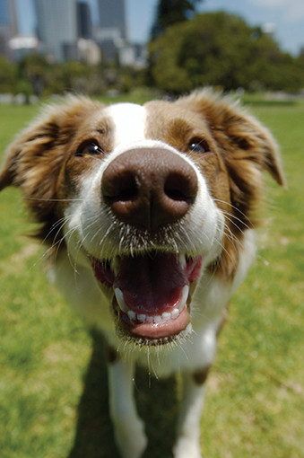 Eighty percent of dogs develop periodontal disease.
