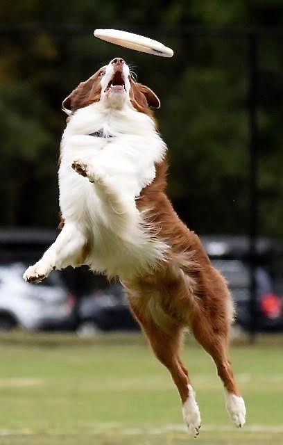 U.S. Disc Dog Nationals World Finals will feature 85 Freestyle teams and over 100 Toss & Fetch teams at Dellinger Park this weekend.