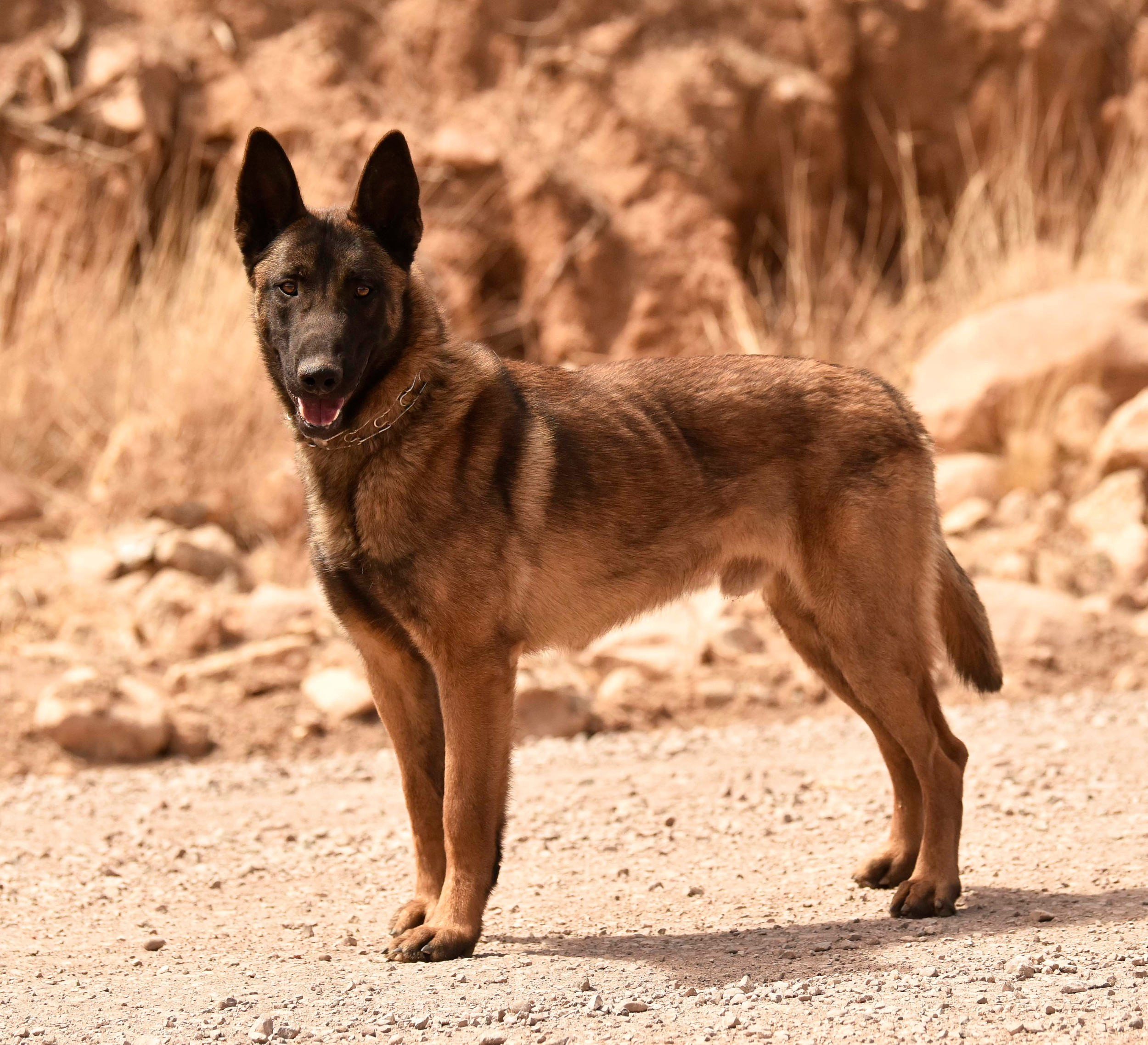 Hart, a 2-year-old Belgian Malinois from the Czech Republic, is one of the newest members of the Cartersville City School System. He and his yet-to-be-named handler will patrol the high school as an added security measure.