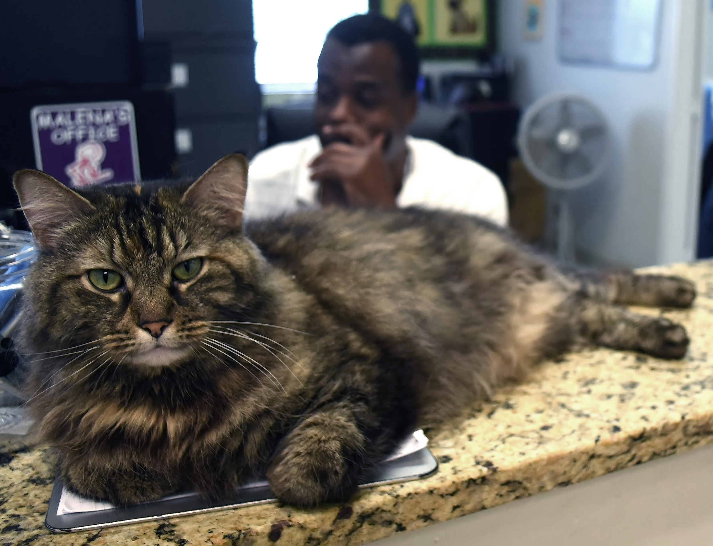 Tori, a Maine Coon cat who lives at the Etowah Valley Humane Society shelter on Ladds Mountain Road, relaxes on the office counter at the shelter as EVHS Director Bryan Canty reviews adoption records on the facility's computer.