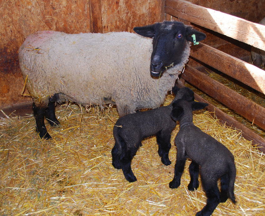 A ewe lamb stands with her lambs on Gary Gieselmann's farm.