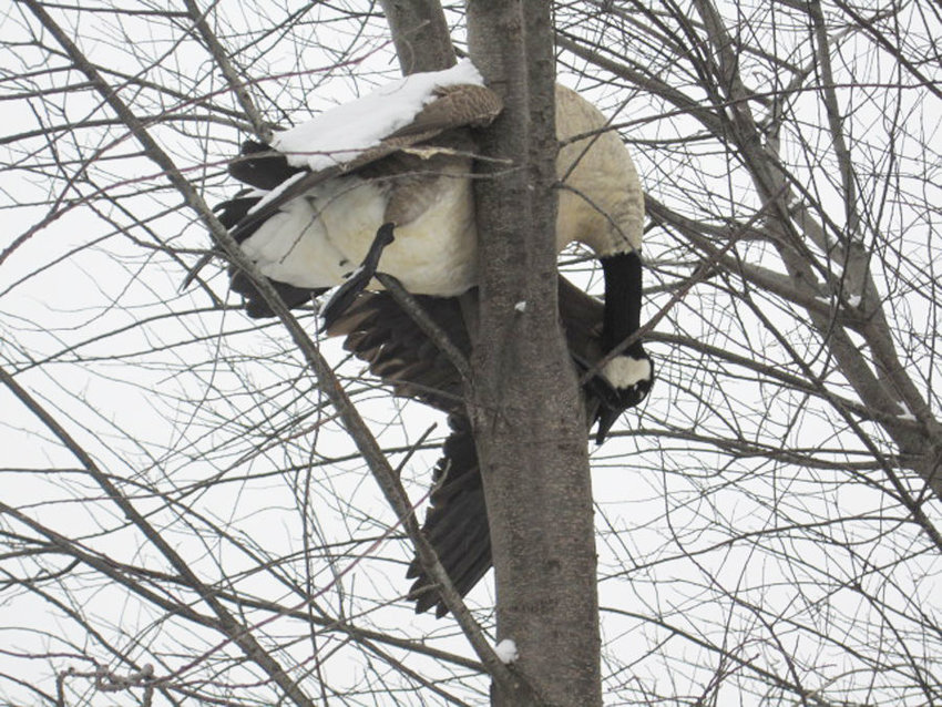 This deceased goose was stuck in a tree along a trail near Bennington.