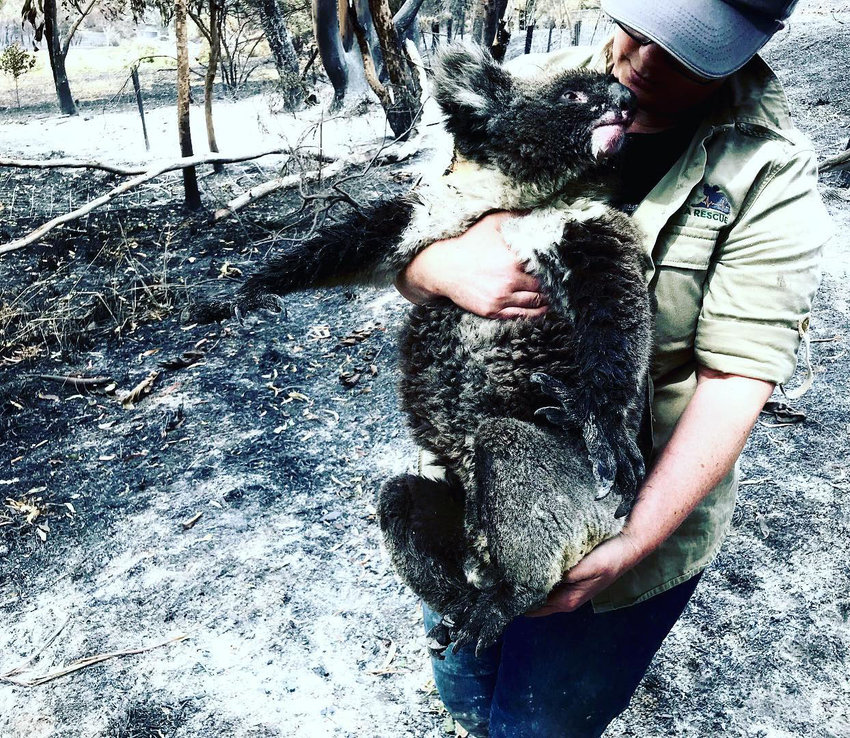A rescuer from the Adelaide Koala Rescue carries a koala affected by the bushfires in Australia. Alana Dowdell, who is the daughter of Norbert and Beverly Cent and the granddaughter of the late Bob and Marian Wilkins, lives in Adelaide and is volunteering with the rescue.
