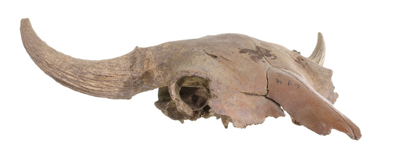 A buffalo skull is one artifact people can view in 360 degrees for the Washington County Museum's virtual tours created by Aaron Shoemaker.