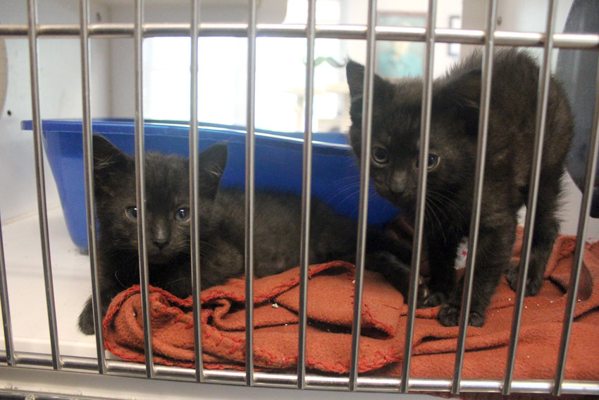 The Jeanette Hunt - Blair Animal Shelter has around 25 kittens up for adoption.