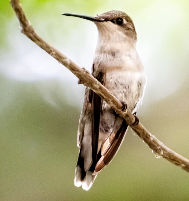 They say a hummingbird flaps its wings up to 80 times per second.  Anyone else tired just thinking about that?