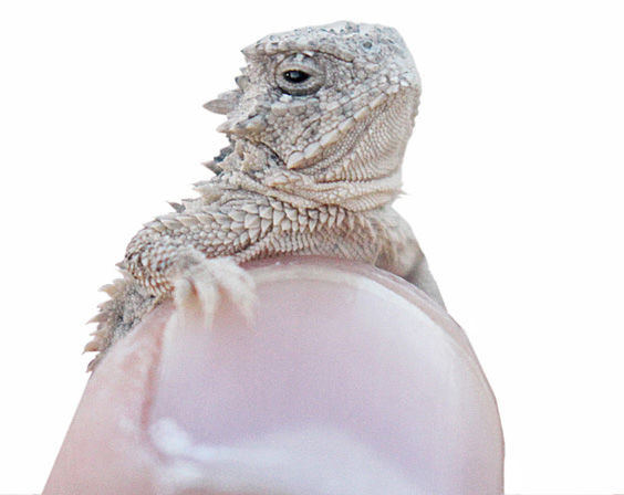 A thumb-sized Texas horned lizard was rescued from the Dollar Tree last Wednesday, July 26. At risk of being trampled, the tiny hatchling was caught and released in efforts to preserve the endangered species.
