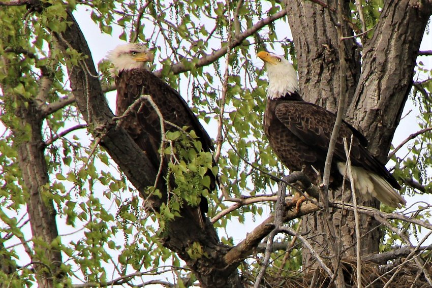 """Several pairs of bald eagles are nesting in the area this spring, including this pair near Manchester. The female, left,  can be identified by the """"eye shadow"""" markings on her face.  Larger than the male, she also has a larger beak."""