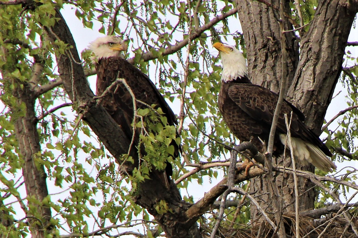 "Several pairs of bald eagles are nesting in the area this spring, including this pair near Manchester. The female, left,  can be identified by the ""eye shadow"" markings on her face.  Larger than the male, she also has a larger beak."