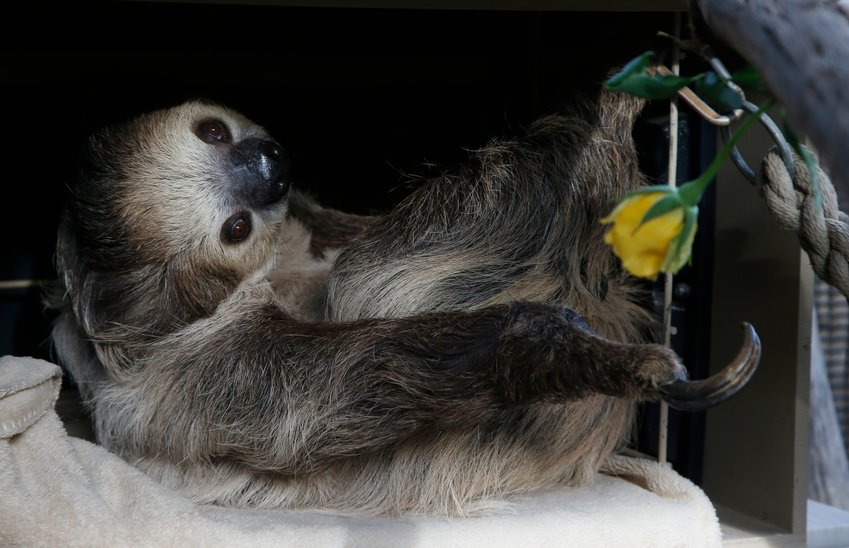 Fernando, the two-toed sloth, reaches for a yellow rose to eat inside his habitat at the Phoenix Zoo Monday, April 27, 2020, in Phoenix.  The pandemic has jeopardized zoos around the world that have been forced to close but rely on ticket sales. The struggle has some zoos turning to social media to engage with people who can no longer visit and raise some much-needed cash. (AP Photo/Ross D. Franklin)