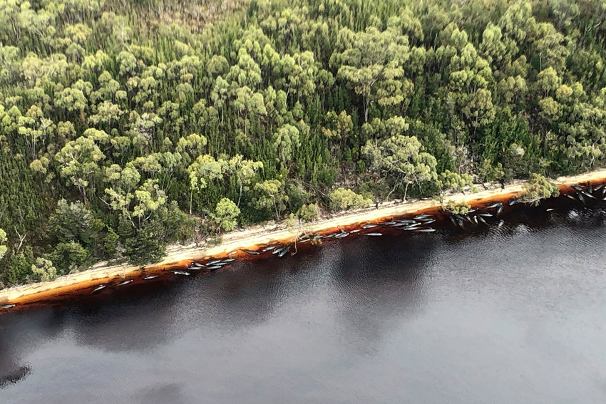 Whale carcasses are scattered along the water's edge near Strahan, Australia, Wednesday, Sept. 23, 2020. Authorities revised up the number of pilot whales rescued from Australia's worst-ever mass stranding from 50 to 70 on Thursday, Sept. 24, 2020, as the focus shifted to removing 380 carcasses from Tasmania state shallows. (Patrick Gee/The Mercury/Pool via AP)
