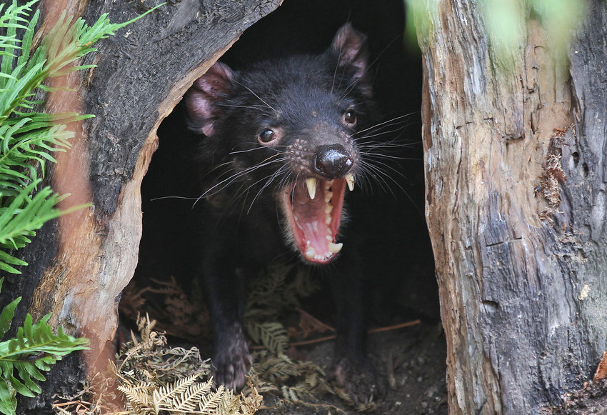 FILE - In this Dec. 21, 2012, file photo, Big John the Tasmanian devil growls from the confines of his tree house as he makes his first appearance at the Wild Life Sydney Zoo in Sydney. Tasmanian devils, the feisty marsupials who rose to fame from their representation in cartoons, recently made their return to mainland Australia for the first time in some 3000 years. (AP Photo/Rob Griffith, File)