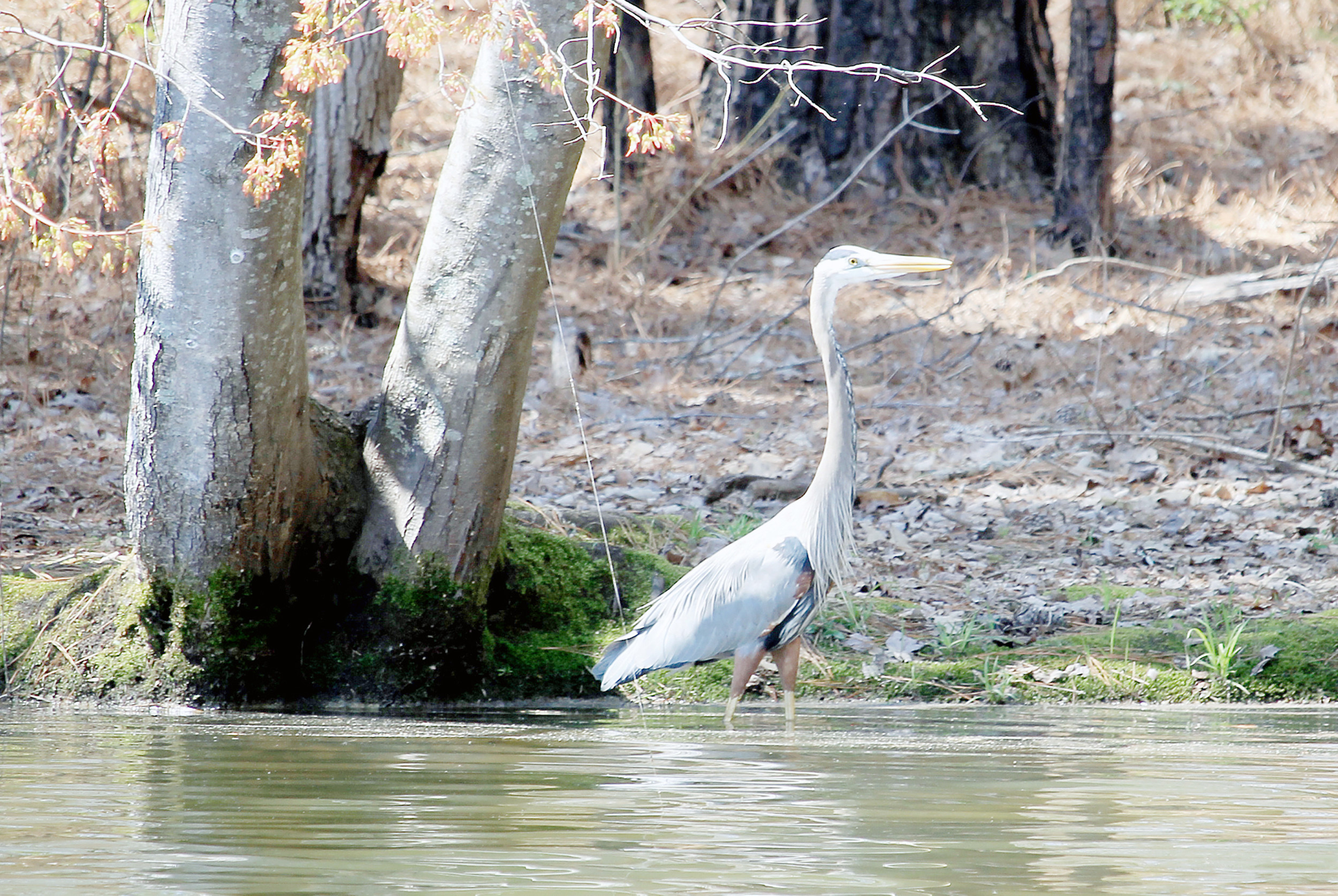 A crane searches for food along the shore of Walker County Lake on Monday. The lake, part of the West Alabama Birding Trail, has a number of species that live there year-round as well as some that move in and out seasonally.  Daily Mountain Eagle - Jennifer Cohron