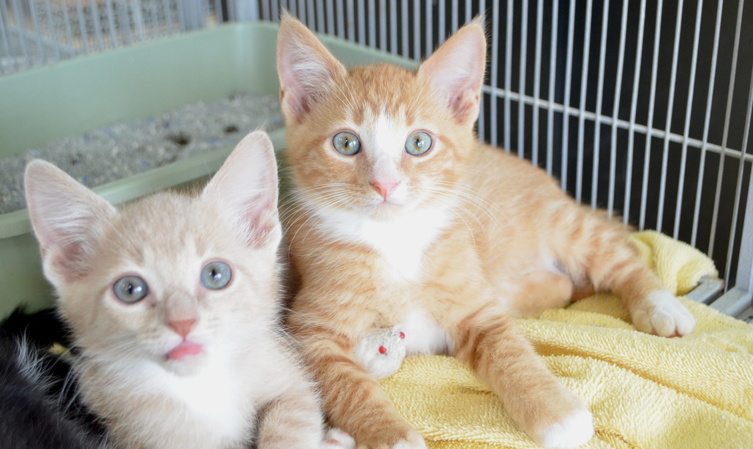 Two kittens available for adoption at Pet Depot in Jasper.
