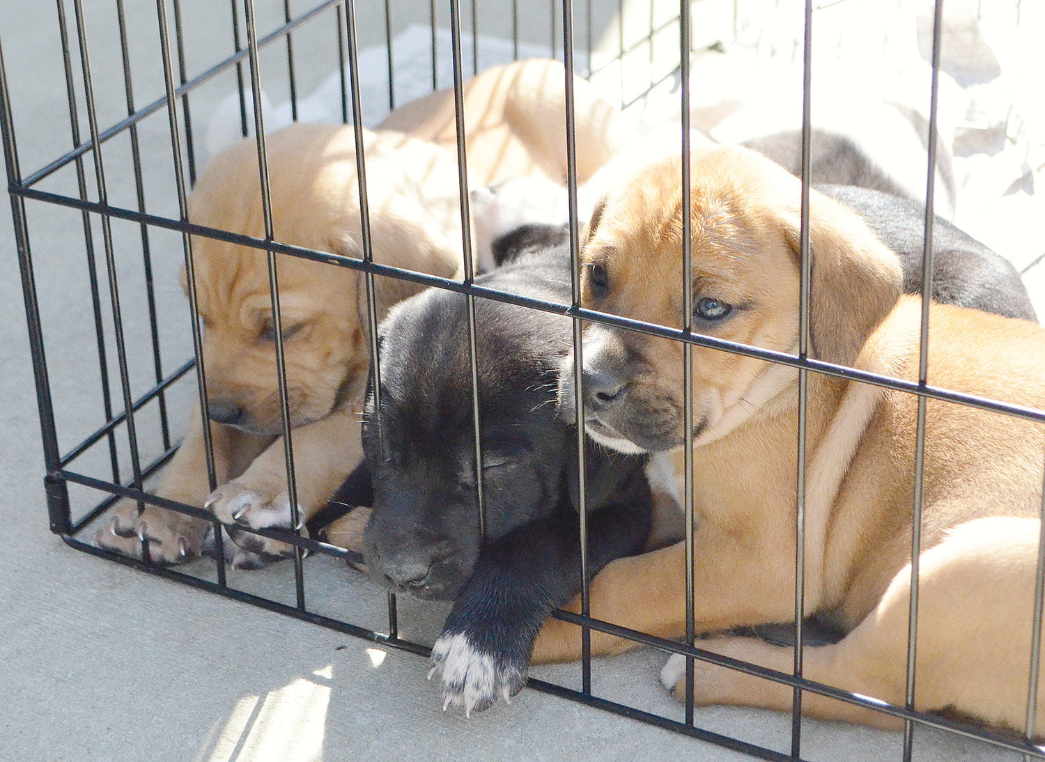 does dog need distemper vaccine