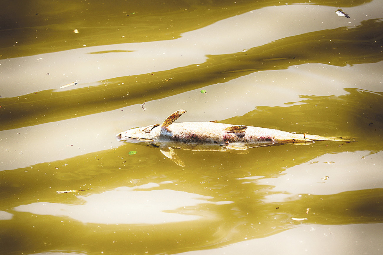 Dead fish wash up at the Mulberry Fork in Sipsey on Monday afternoon. Game Warden Phil Miller said he first noticed the dead fish on Sunday.