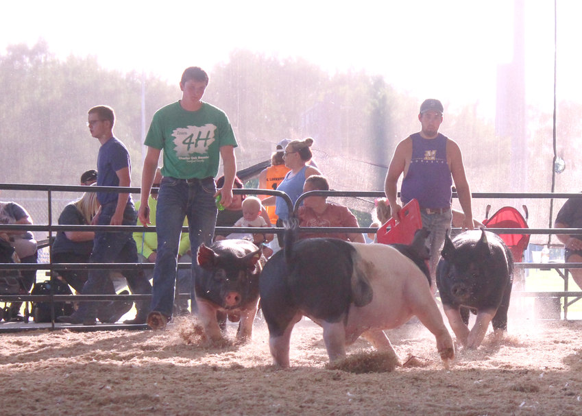 This is one of my favorite pictures from the 2021 Charter Oak Achievement Days. Dawson Gress's pen of three pigs were excited to run in the show ring.