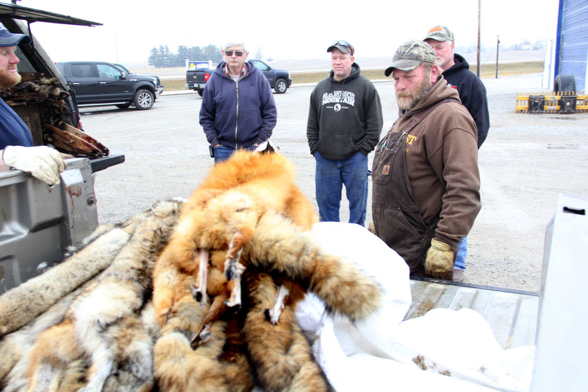 Fur buyer Rick Hemsath, at left, inspects a truckful of pelts, while trappers Beryl Esbaum, Kyle Gottschalk and Rick Armstrong await their turns to barter with Hemsath outside Kay Farms Elevator in Wheatland.