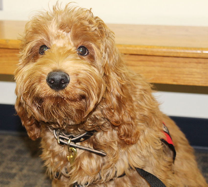 Quimby — Wilton Elementary's new therapy dog. He's a 5-month old labradoodle.