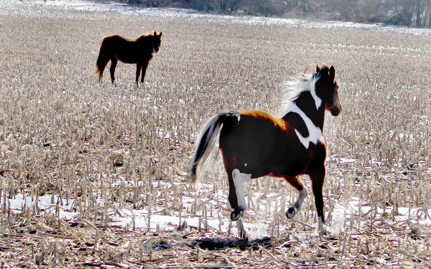 Duane Messerich's horse Reggie trots through snowy corn stubble Sunday near 288th Street just east of River Camp Road.