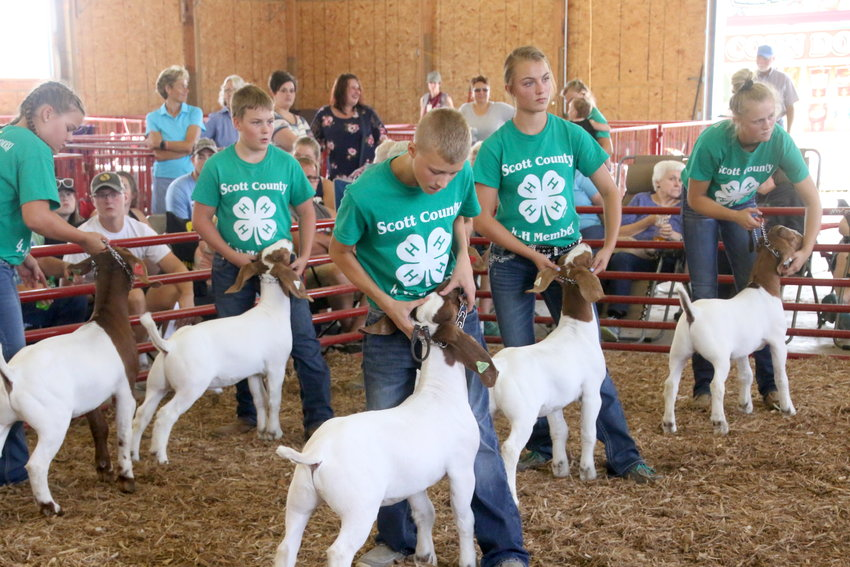 Participants show during the Meat Goat show at the Mississippi Valley Fair.