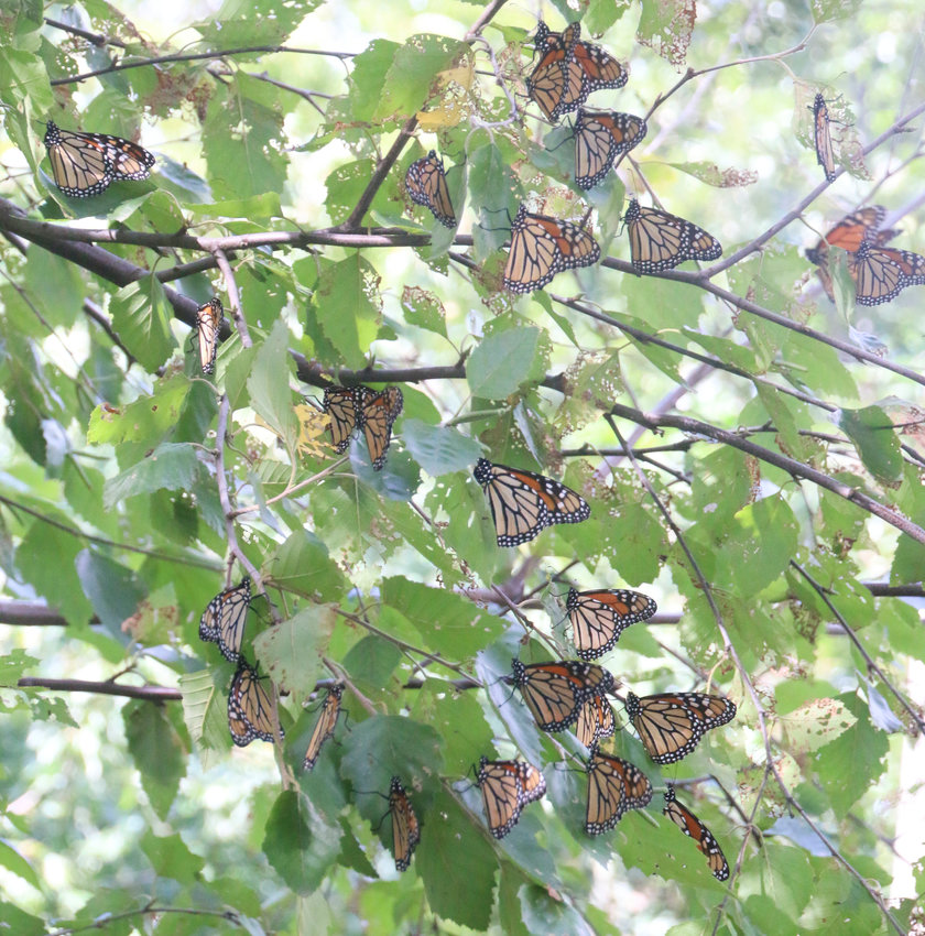 Monarchs descended Tuesday on Susan Frye's Small Frye farm in west Scott County.