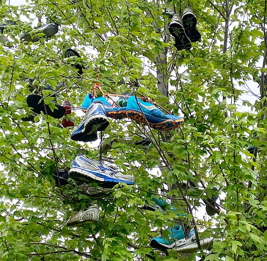 Wilton High School has a new shoe tree for cross country runners to carry on a 13-year tradition of throwing their used running shoes into the tree. The new tree is located west of the high school gym.