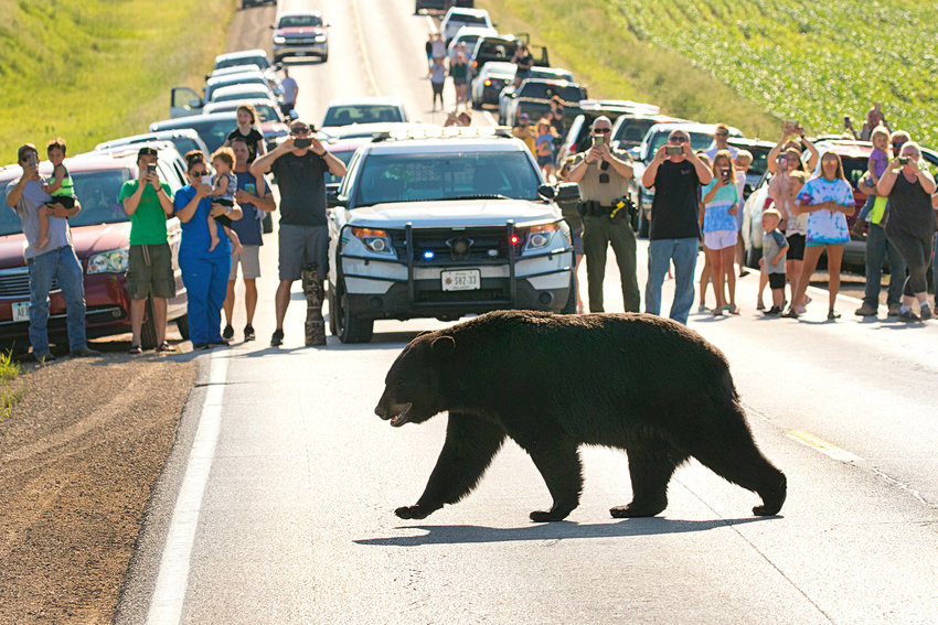 A crowd awaits Scott County's roaming black bear as he crosses West LeClaire Road June 16.