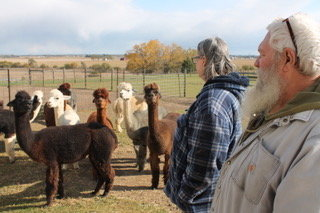 Kevin and Pat Lendt watch of their colorful herd of alpacas on their Grey Barn Farm in rural Atalissa.