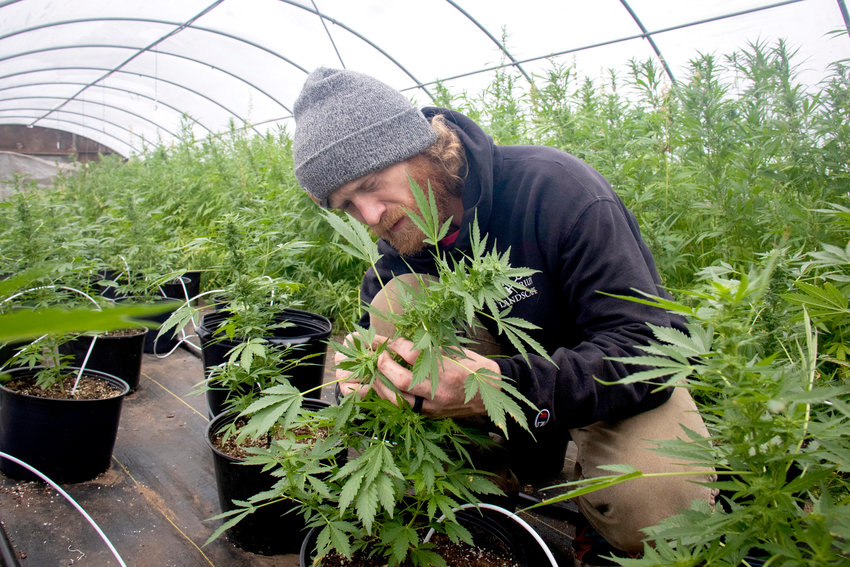 A student examines a hemp plant inside the greenhouse at Muscatine Community College during the growing season.
