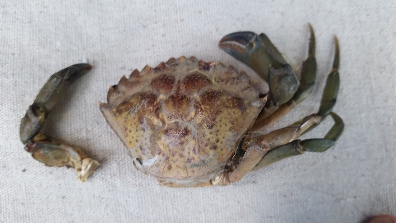 One of two European green crab shells that were recently found in Drayton Harbor.