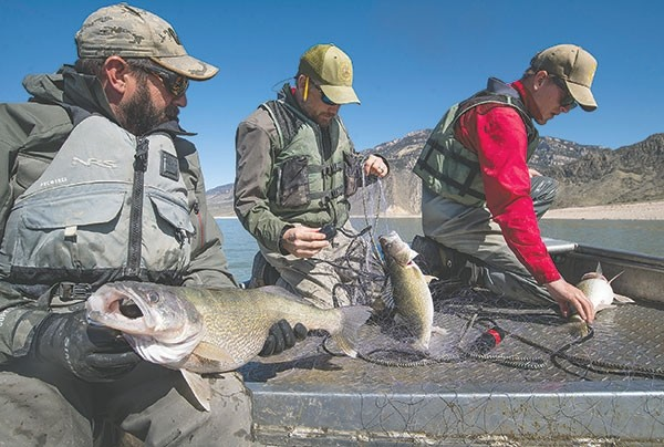 From left, volunteer Kris Cooper of Powell, Wyoming Game and Fish Department fisheries technician Mark Komoroski and Cody Region fisheries biologist Jason Burckhardt remove large female walleye from monofilament nets at Buffalo Bill Reservoir Friday. Walleye were illegally stocked in the reservoir, and Game and Fish biologists are fighting hard to remove them before they harm the popular trout fishery.