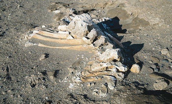 This partially articulated section of a mammoth vertebral column and dorsal spines was discovered at Buffalo Bill Reservoir by a hiker this week, after water levels were lowered in anticipation of snow melt. The mammoth remains will be carbon-dated. If they're less than 14,000 years old, the timeline could include human involvement in the mammoth's death.
