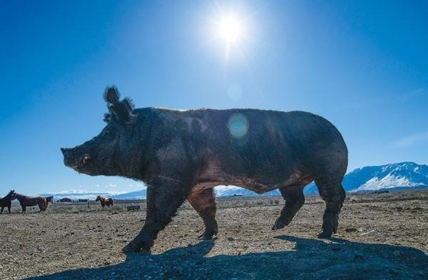 Wakonda, Travis Smith's 700-pound prized boar, rules the pig pen.