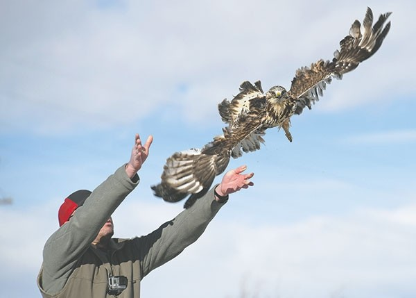 Nathan Horton, lab manager and golden eagle research assistant at the Draper Natural History Museum, releases a rough-legged hawk named Warrior on Friday after an extended stay and rehabilitation at the Ironside Bird Rescue in Cody.