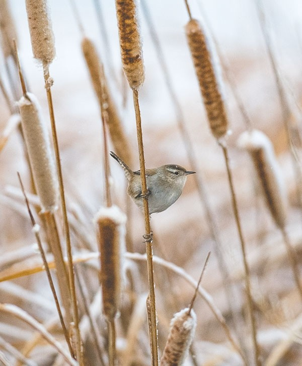 A marsh wren, a year-round resident, clings to a cattail in the Yellowtail Wildlife Habitat Management area. The birds are inquisitive and have an intricate song.