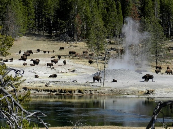 Bison are seen in the Mud Volcano area in this October 2012 file photo.