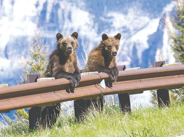 'The cubs were just 'hanging out' along the guardrail,' said Michelle Giltner, a Powell fifth-grade teacher who captured this image last month during a class field trip. The bears posed for a school bus full of 57 fifth-graders who were on their way to the Northwest College A.L. Mickelson Field Station after a day in Yellowstone.