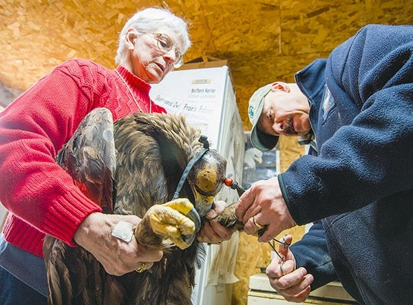 Susan Ahalt of Ironside Bird Rescue in Cody and Dr. Charles Preston of the Buffalo Bill Center of the West's Draper Natural History Museum work to band a golden eagle prior to its release back to the wild. The Center of the West is gearing up for a new exhibition on golden eagles.