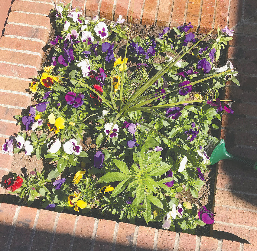 One of the plants recently spotted in this City of Powell pot does not belong with the others. City officials have found (and destroyed) three apparent marijuana plants in three different planters.