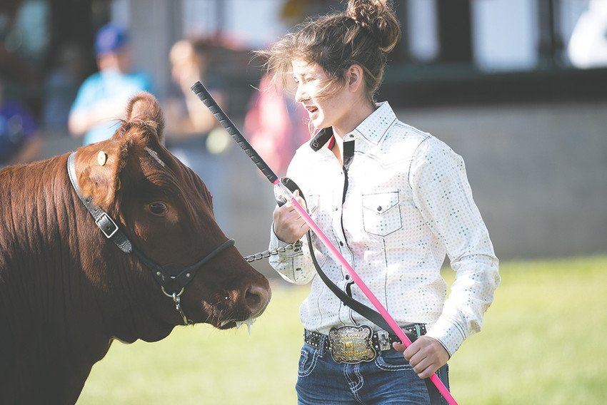 Maddy Hanks of Powell shows her steer during the recent Park County Fair. Local businesses and community members spent nearly $379,000 purchasing local youths' animals at this year's Junior Livestock Sale, up from 2017.