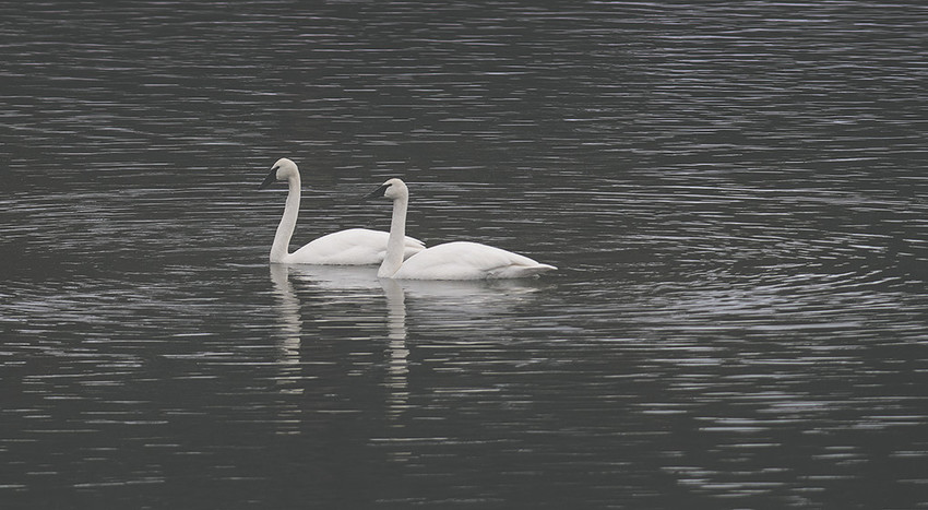 A pair of trumpeter swans swims across the Yellowstone River in Yellowstone National Park. Park managers say the swans are in decline, with a new report citing a decrease in nesting pairs and low productivity, human disturbance and flooding of nests. Other reports suggest American bald eagles are feeding on waterfowl, including swans, as Yellowstone cutthroat trout decline due to the introduction of lake trout.