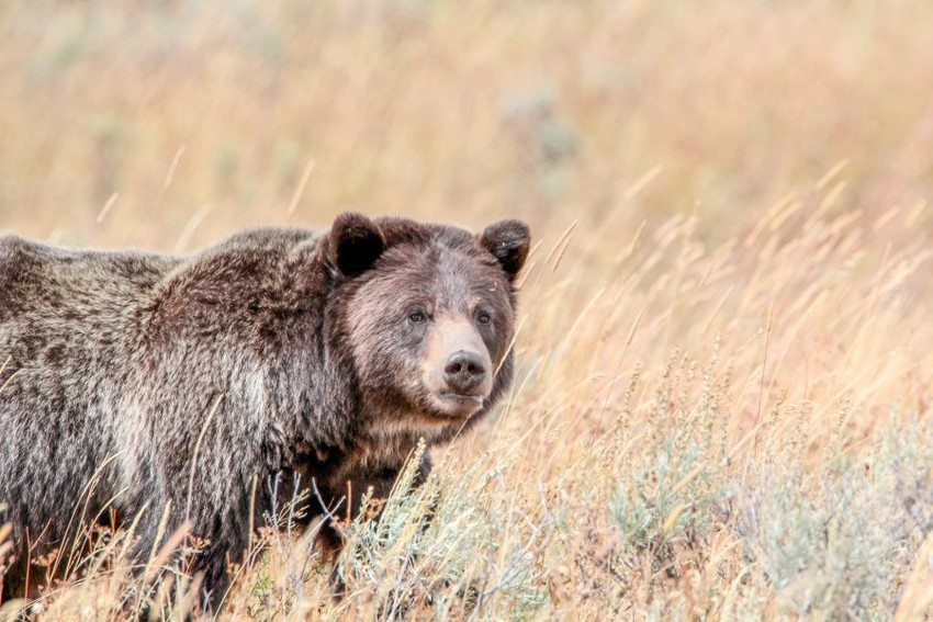 A federal judge has reinstated Endangered Species Act protections for grizzly bears in the Greater Yellowstone Ecosystem in Wyoming, Montana and Idaho. Above, a grizzly roams the area near Yellowstone National Park's Wapiti Lake Trail in 2015.