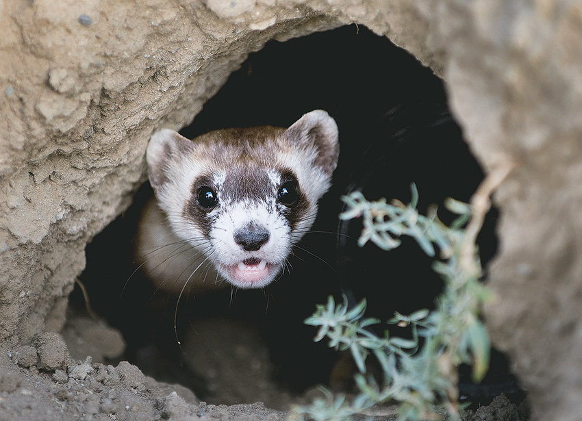 Kimono, a female black-footed ferret, pokes her head out of a white-tailed prairie dog burrow during its first moments of freedom. Kimono, along with 13 other captive-bred ferrets, was released on the Lazy BV Ranch about 20 miles west of Meeteetse in the final relocation of the endangered species back to the historic ranch where the species was rediscovered after they were thought to be extinct.