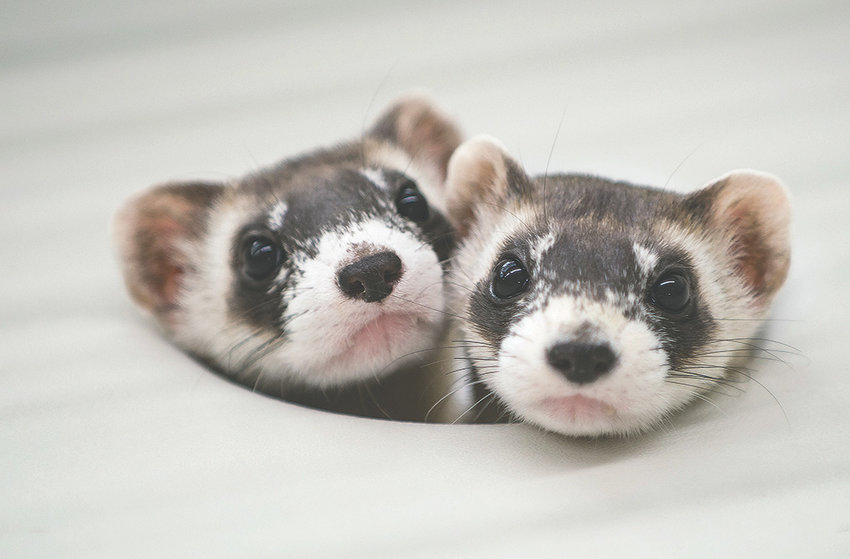 Two black-footed ferret kits poke their heads out of their cage tunnel to check on the status of lunch at the National Black-Footed Ferret Conservation Center in northern Colorado. Over the years, more than 9,000 ferrets have been raised at the facility, helping to bring the species back from the brink of extinction.