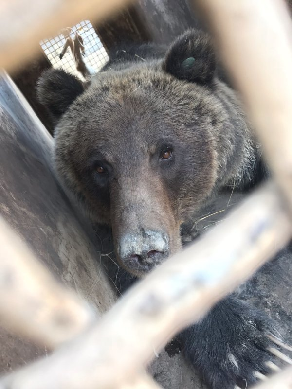 A sow grizzly bear peers out of a Wyoming Game and Fish Department trap on Thursday, south of Byron. The bear and its two cubs were later euthanized.