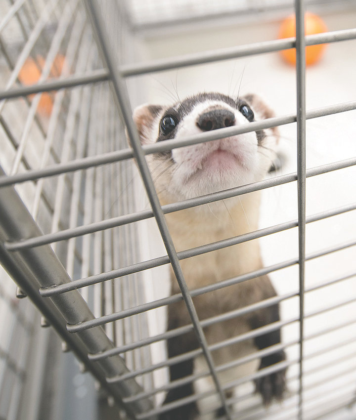 All black-footed ferrets in the wild today can trace their genes back to the National Black-Footed Ferret Conservation Center, pictured here. Private industry researchers would like to one day make the species disease-resistant and more genetically diverse.