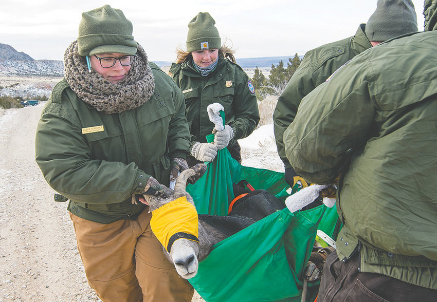 Leslie Schreiber, left, Wyoming's new sage grouse program manager, assists in carrying a bighorn sheep last December while leading a relocation effort in the Bighorn Mountains. Schreiber previously was the Greybull area wildlife biologist for the Wyoming Game and Fish Department.