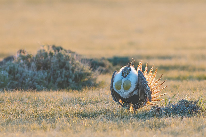 Wyoming Gov. Matt Mead is welcoming a Trump administration plan that would give states more autonomy in managing sage grouse and their habitat, but conservation groups are concerned about the proposed changes.