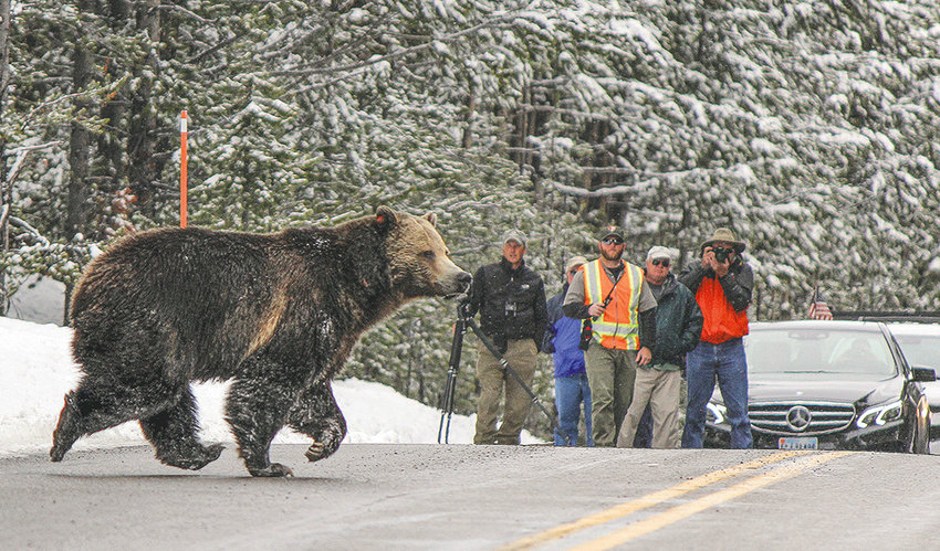 Grizzly bears — such as this bruin in Yellowstone National Park — are a hot topic in this year's legislative session. Both chambers of the Wyoming Legislature have introduced bills in response to a judge's decision that stripped the state of the ability to manage grizzlies outside of the national parks.